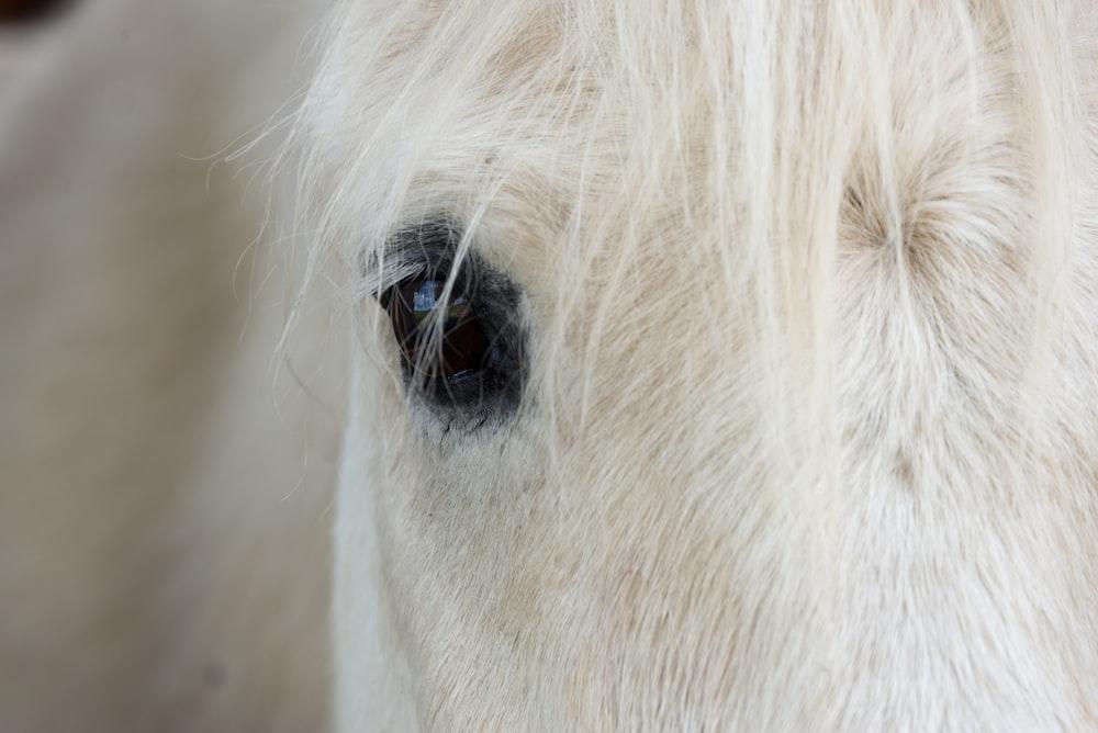 white horse's right eye