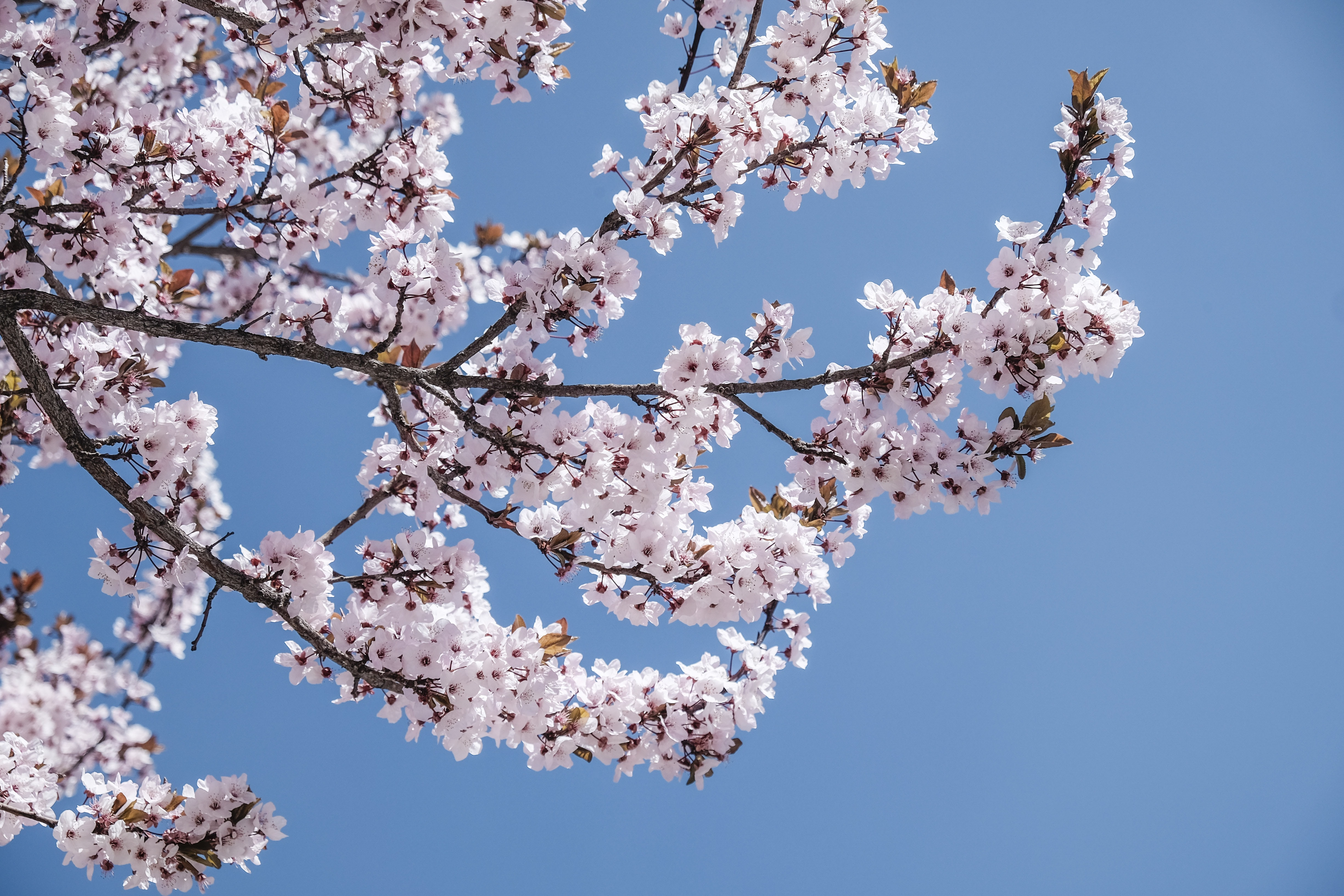 Cherry blossom tree branch with flowers in bloom in Lhasa