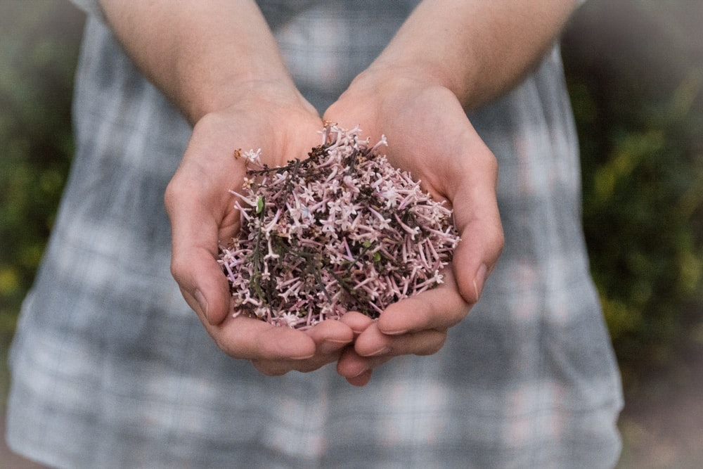 pink petaled flowers in person's hand