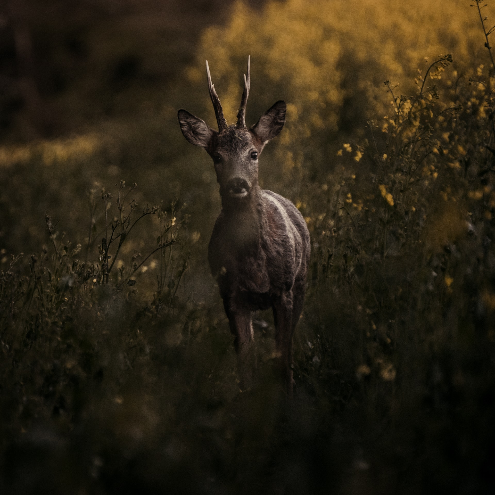 Wild deer stands in a field at dusk