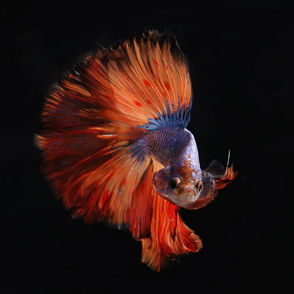 red and silver fighting fish