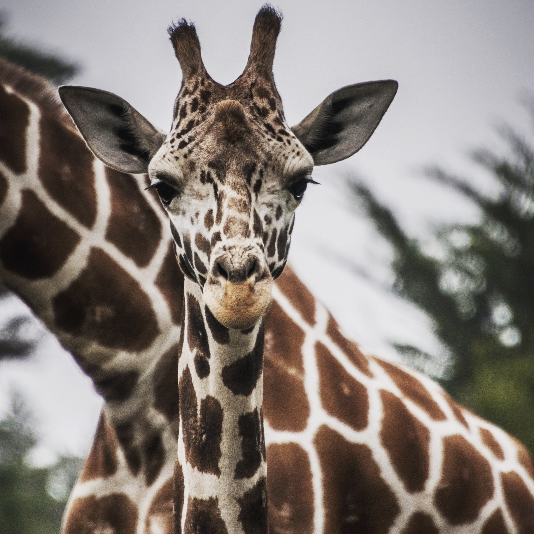brown and white giraffe in closeup photography