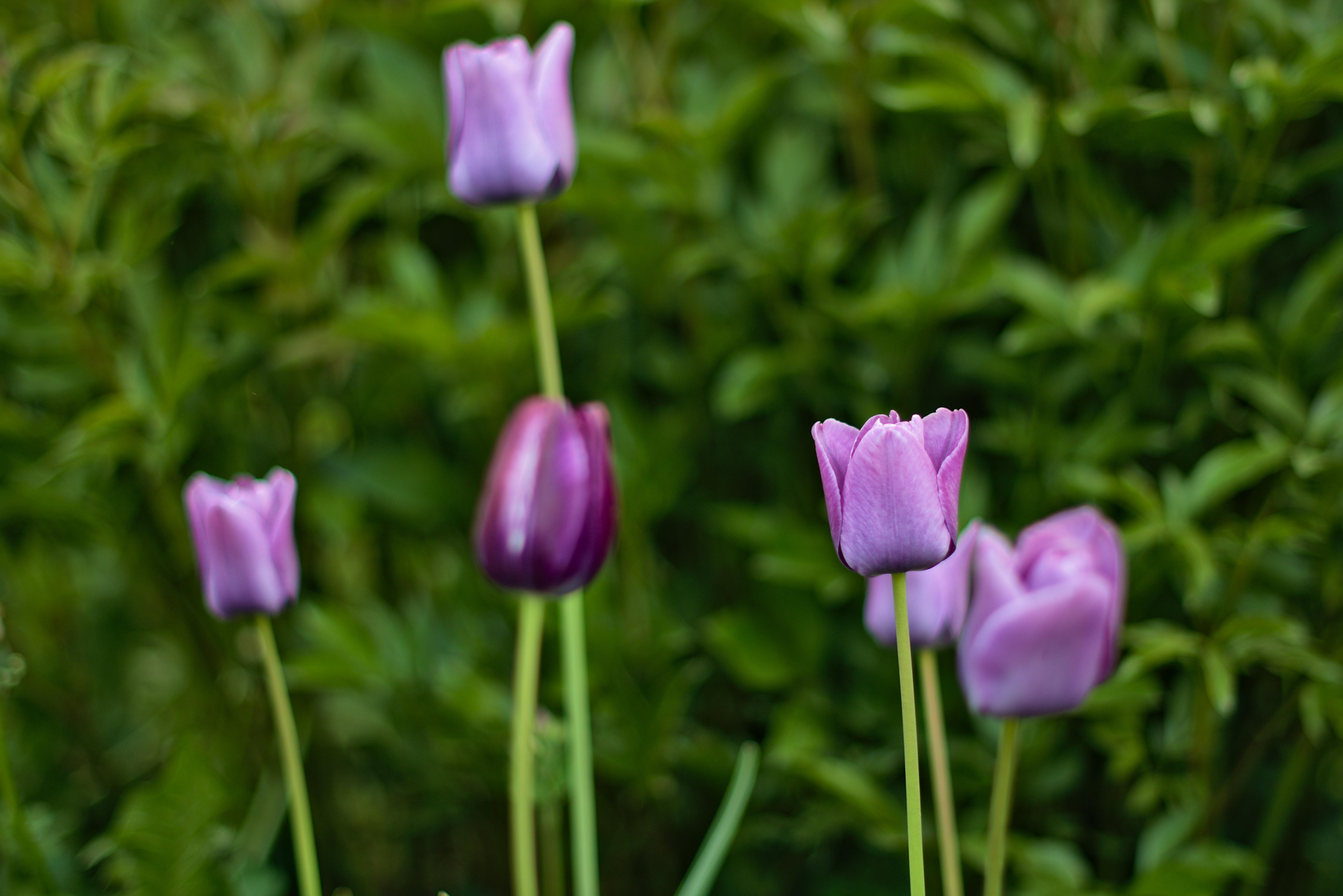 Purple tulips standing tall with bushes in the backdrop.