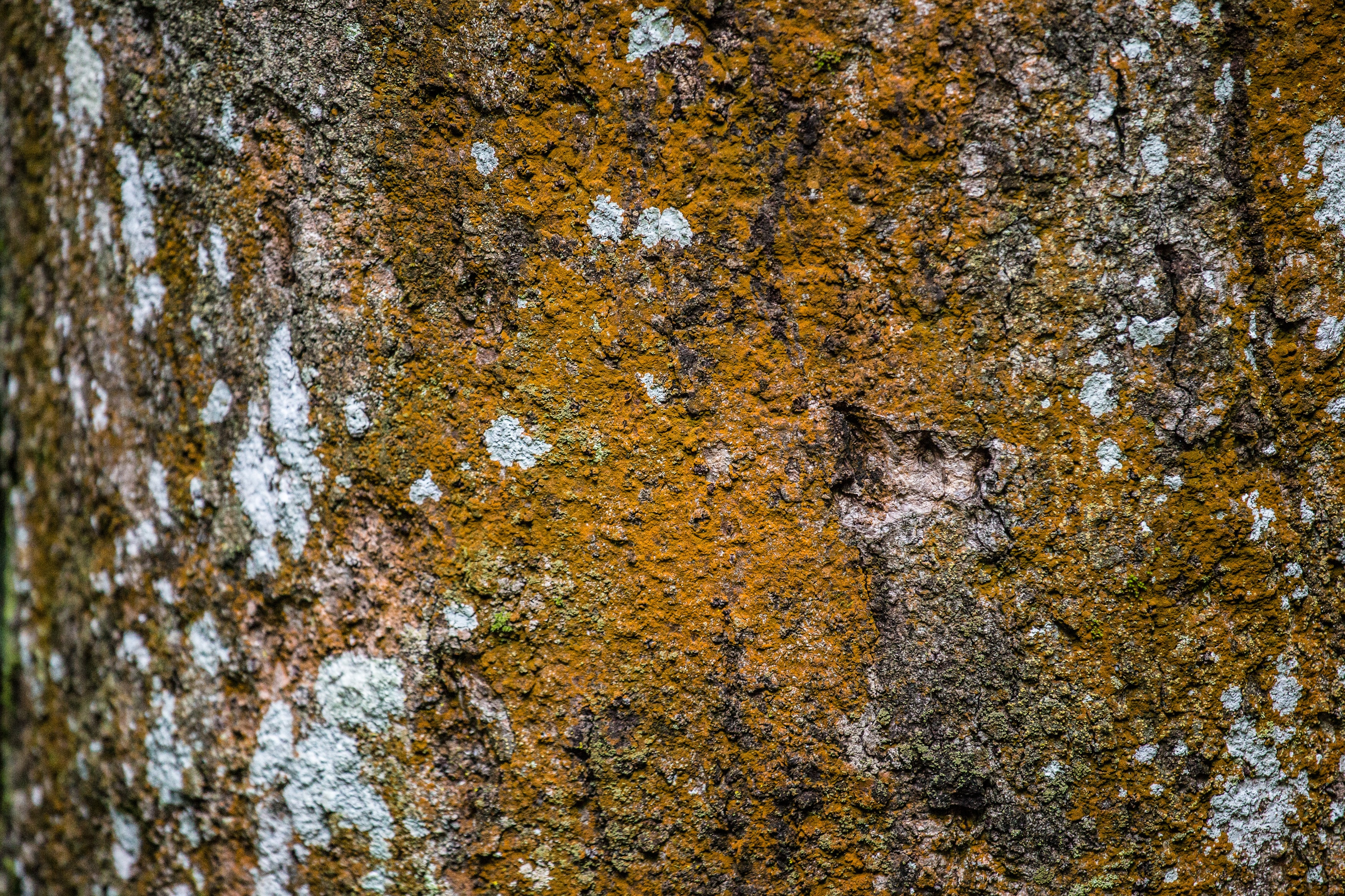 Close-up of dark yellow moss on tree bark