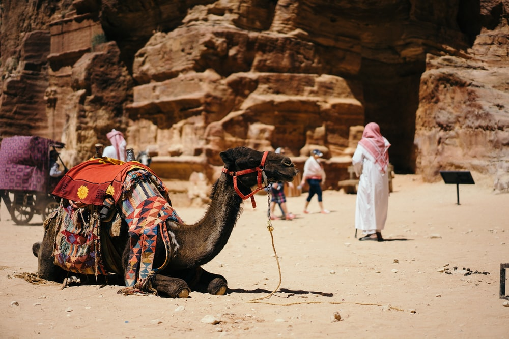 camel sitting on ground near people and rocks