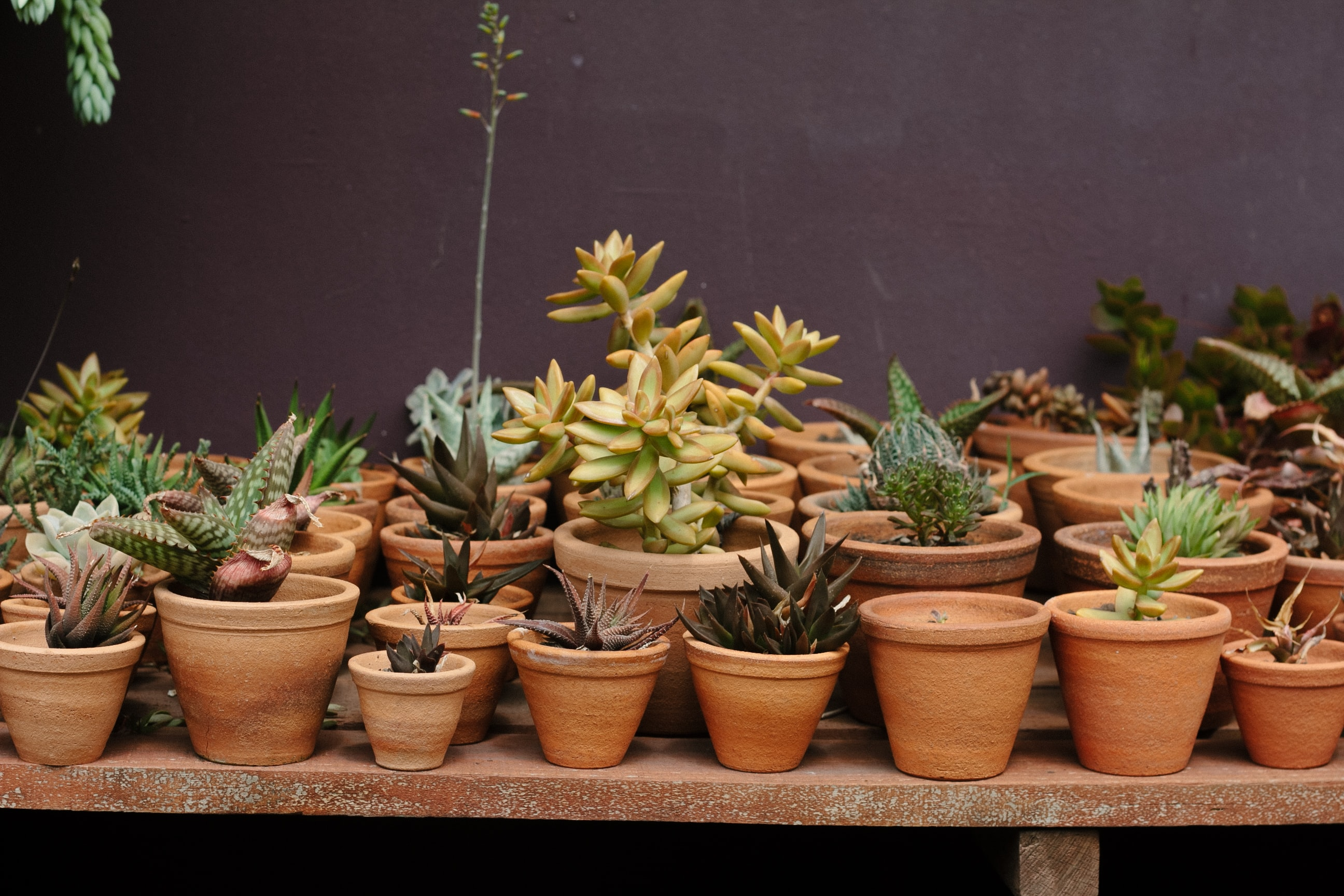 Rows of potted succulents for sale at a greenhouse