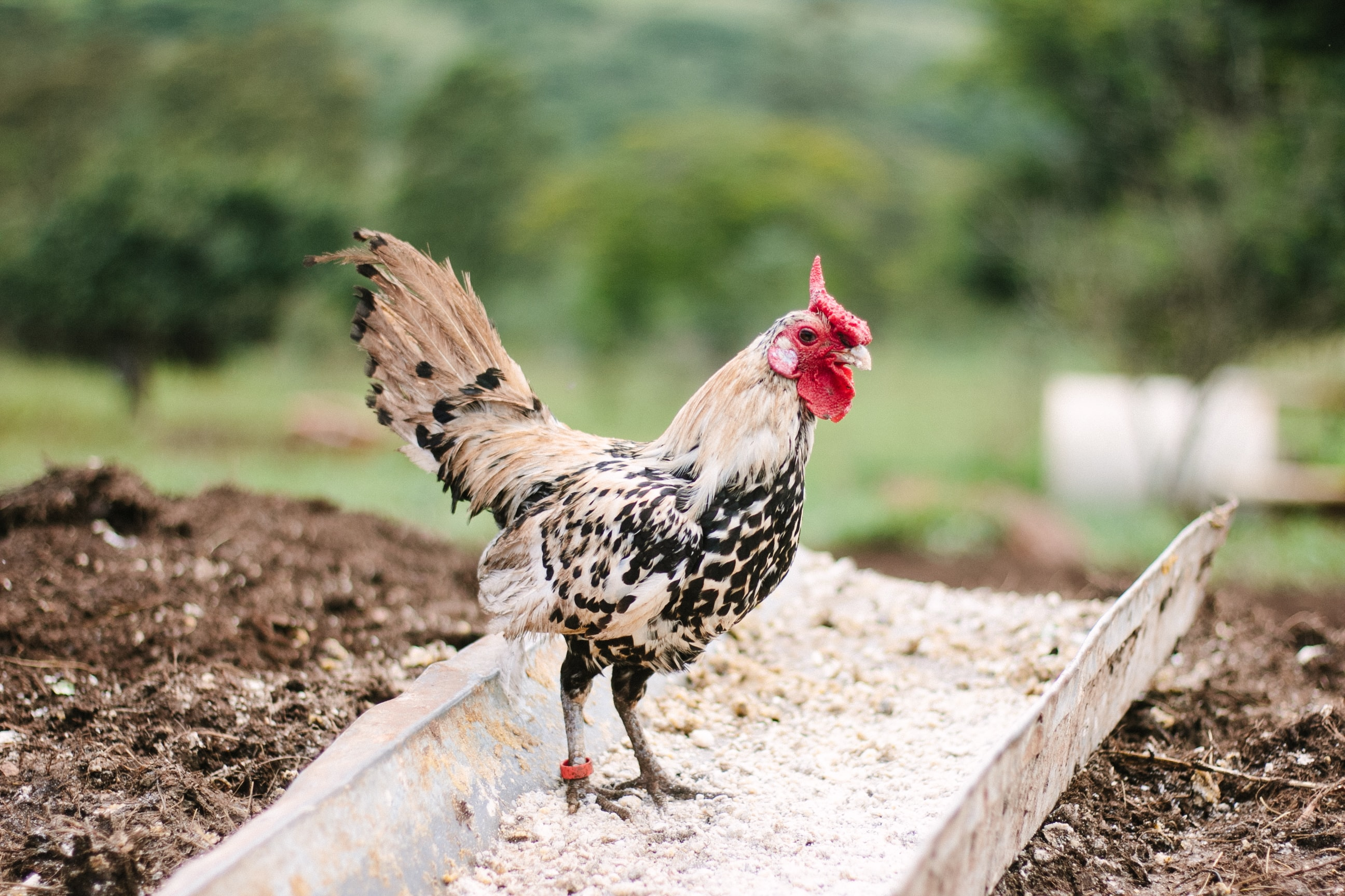 Chicken struts through dirt and feed on the farm