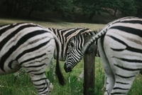 zebras on green grassland during daytime