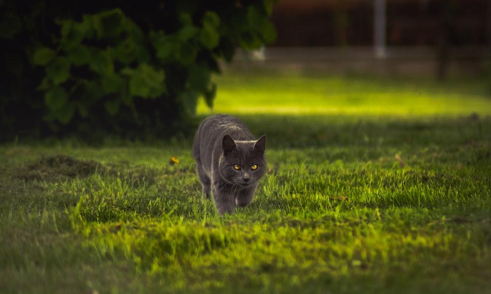 gray cat walking on green grass during daytime