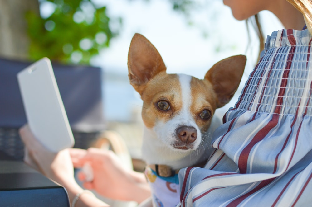 shallow focus photo of Chihuahua
