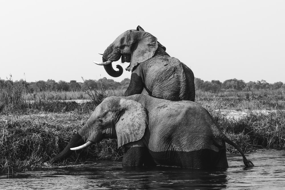 grayscale photo of two elephants on body of water