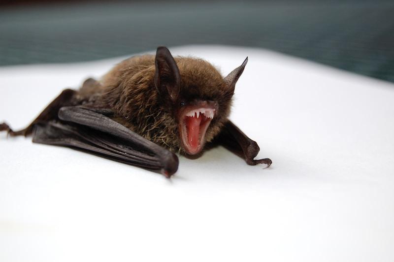 Bat Mot