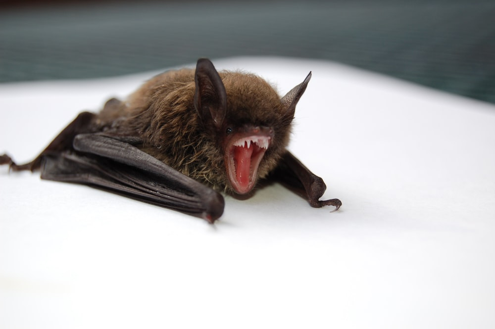 brown and black bat opening mouth