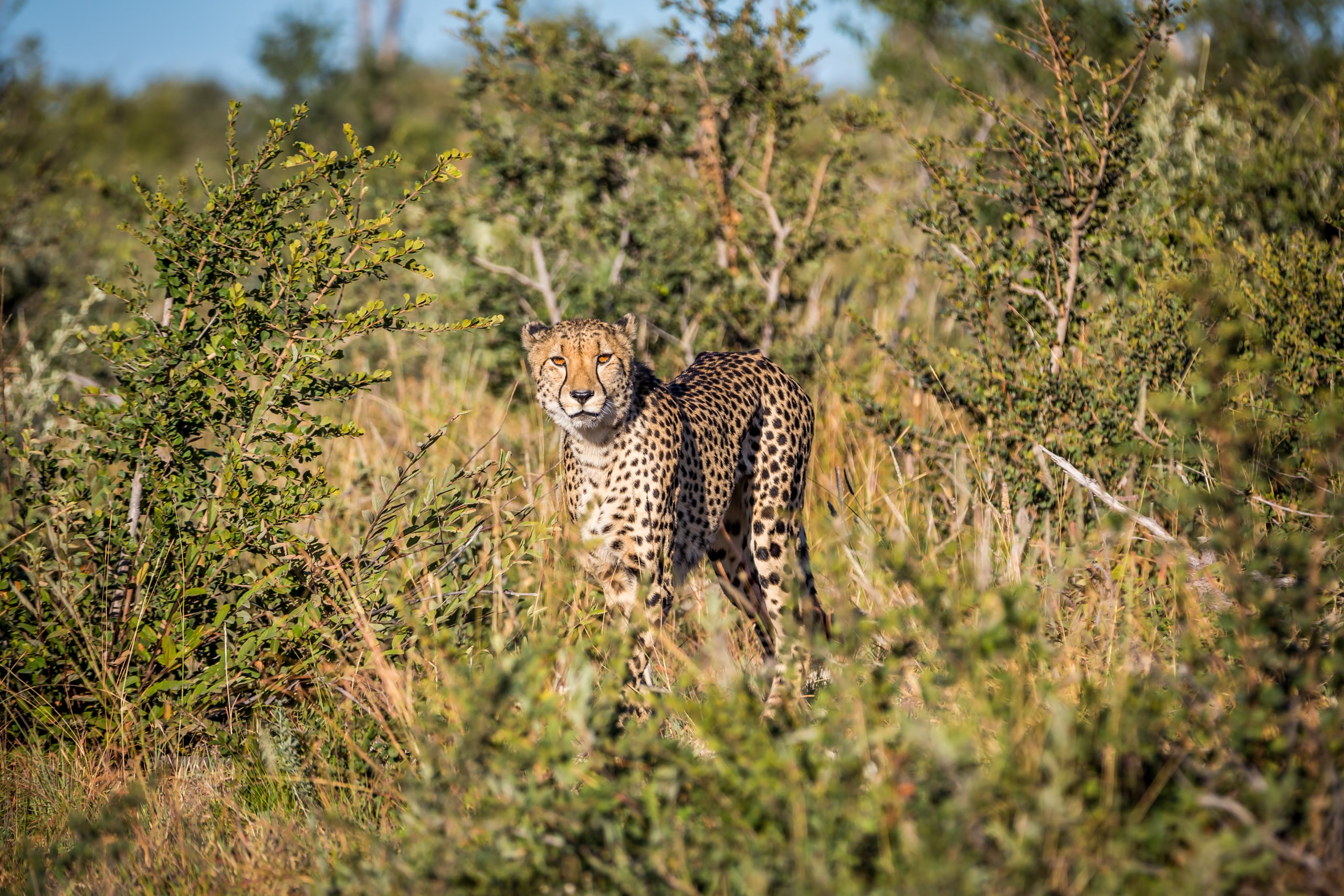 A cheetah staring at the camera in Madikwe Game Reserve