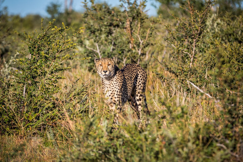 cheetah standing on grass field during day time