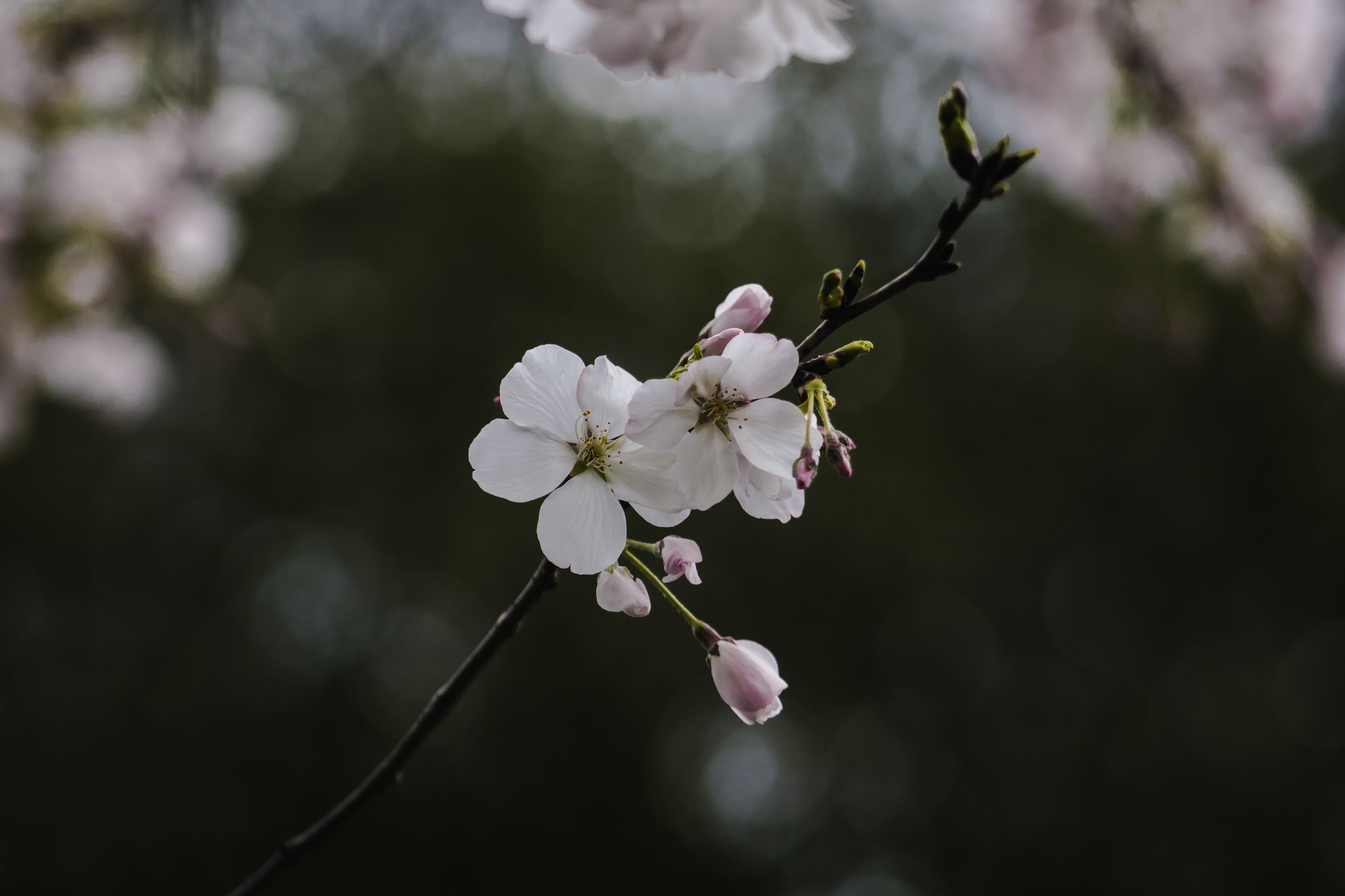 white and pink flowers in tree