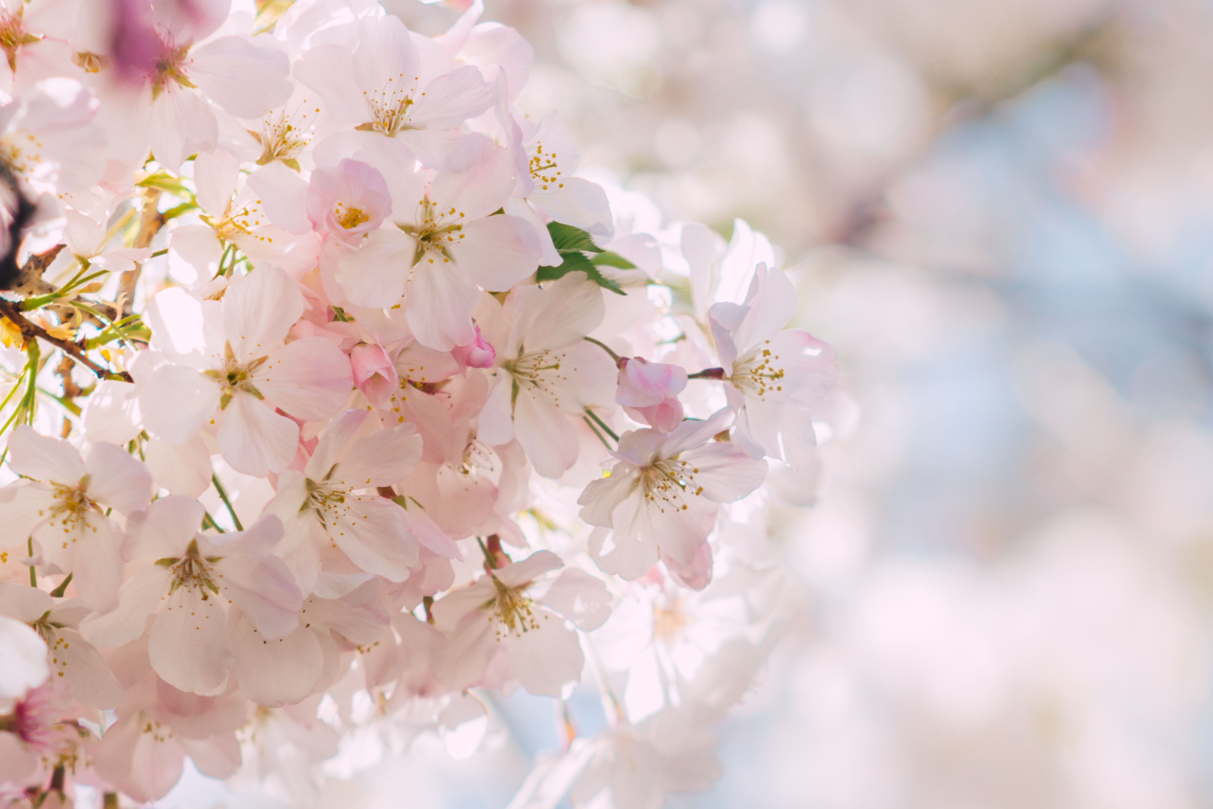 white Cherry Blossom flower