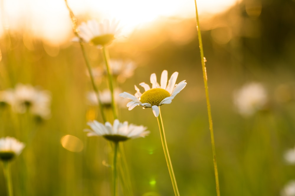depth of field photography of daisy