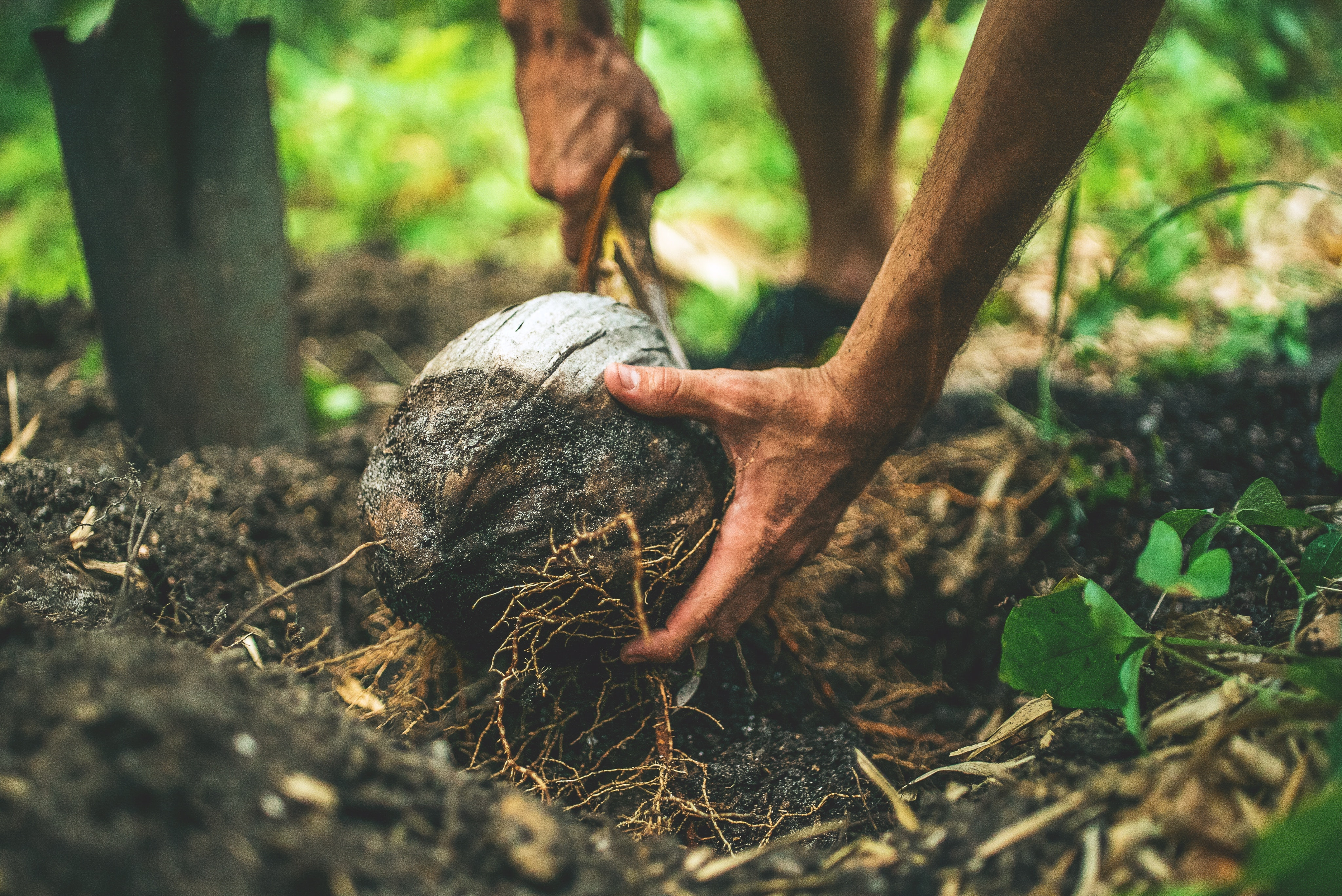 Field worker digs up a coconut from the forest floor