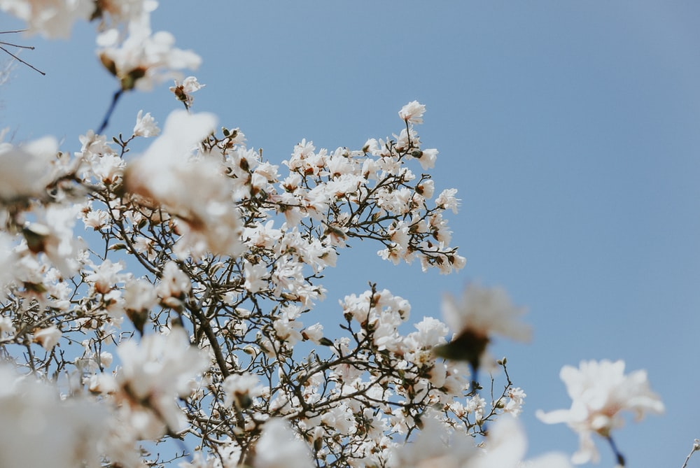 tilt shift lens photography of white blossoms