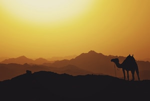 silhouette of camel