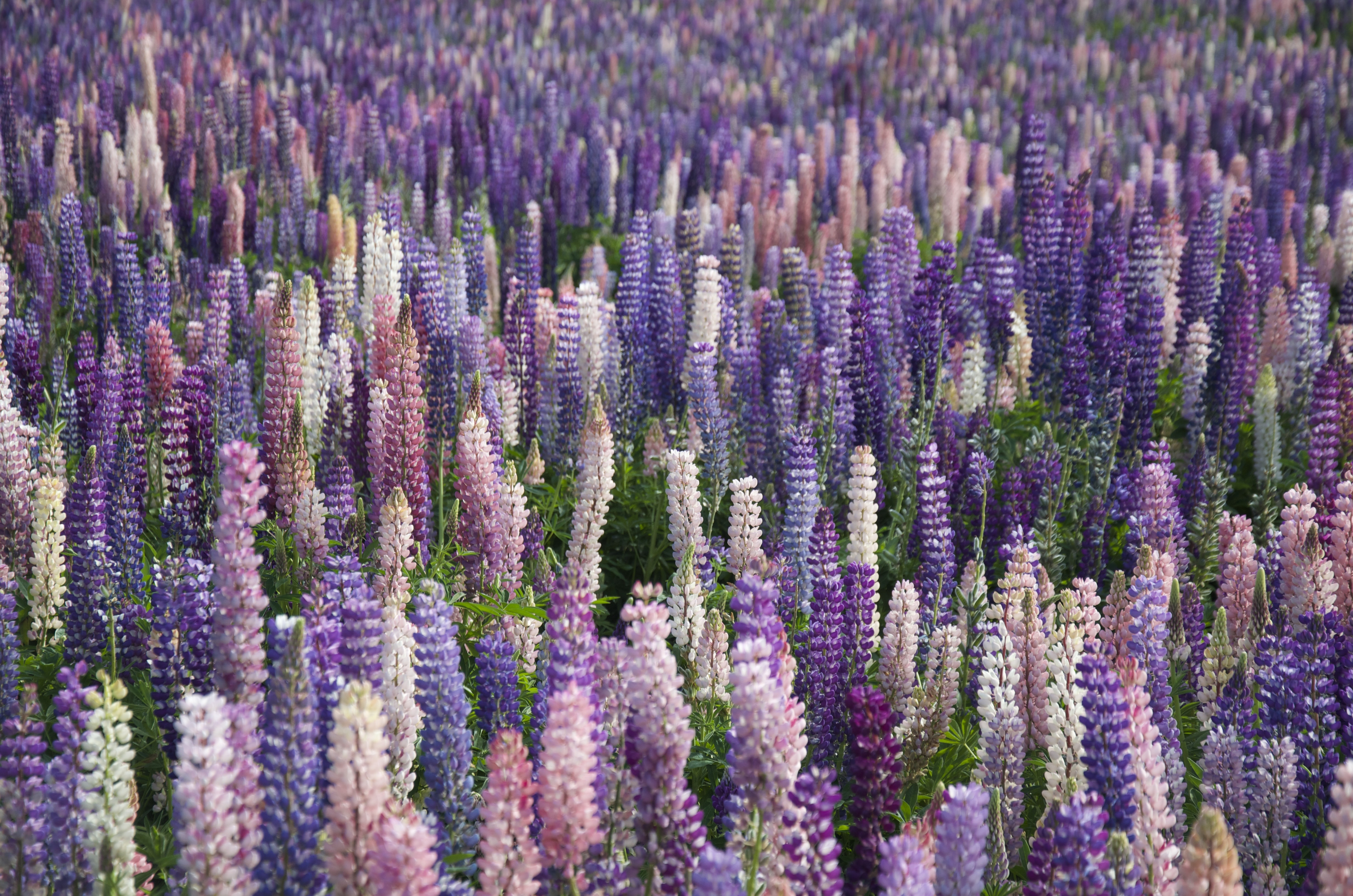 A field with column-like clusters of lupine flowers in various shades of pink and purple