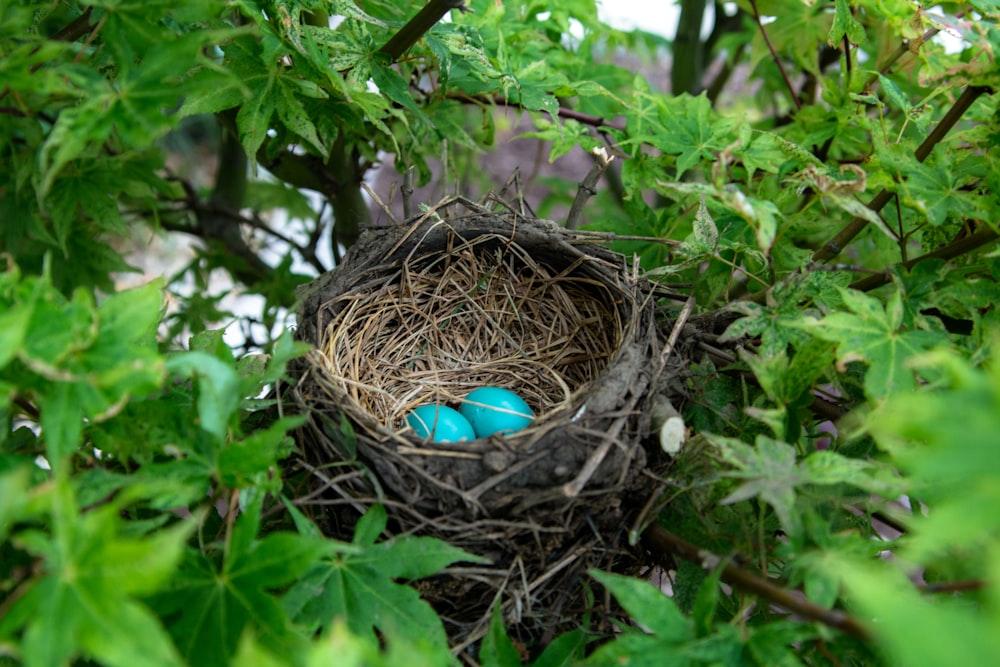 two eggs in bird nest