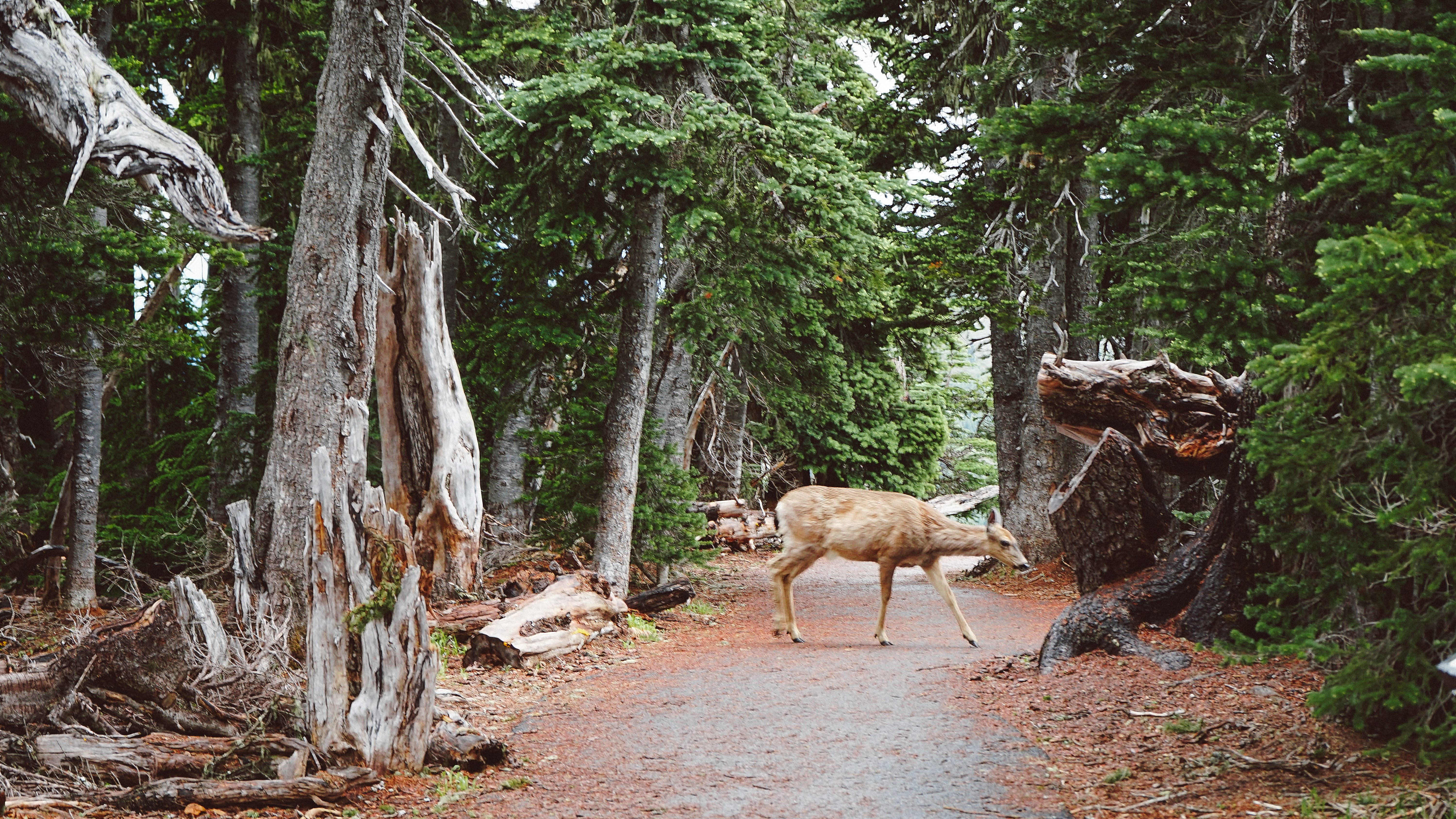 A deer near several dead trees on a forest path
