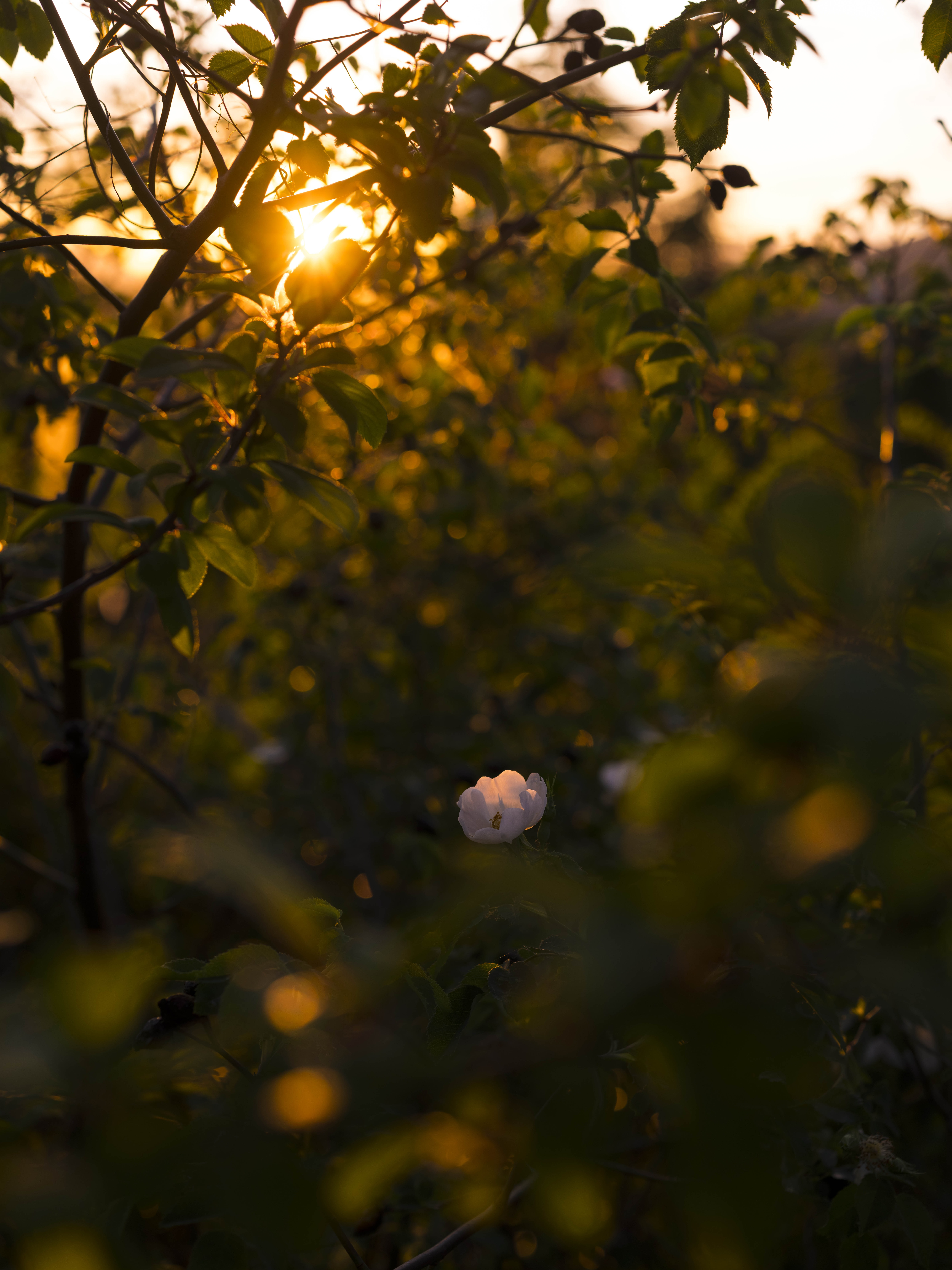A white flower in a green thicket during sunset