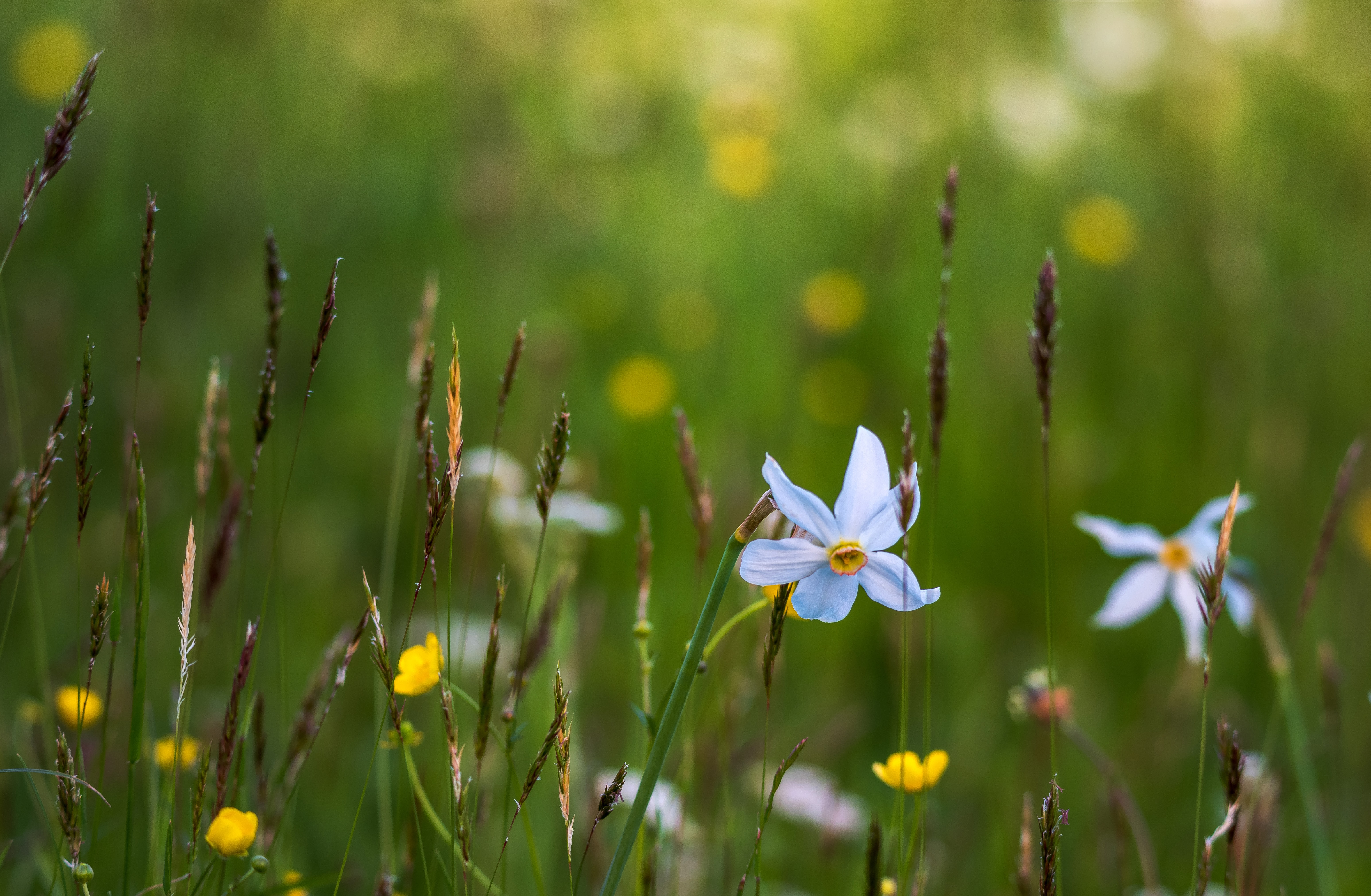 White narcissus flowers among grass and yellow buttercups