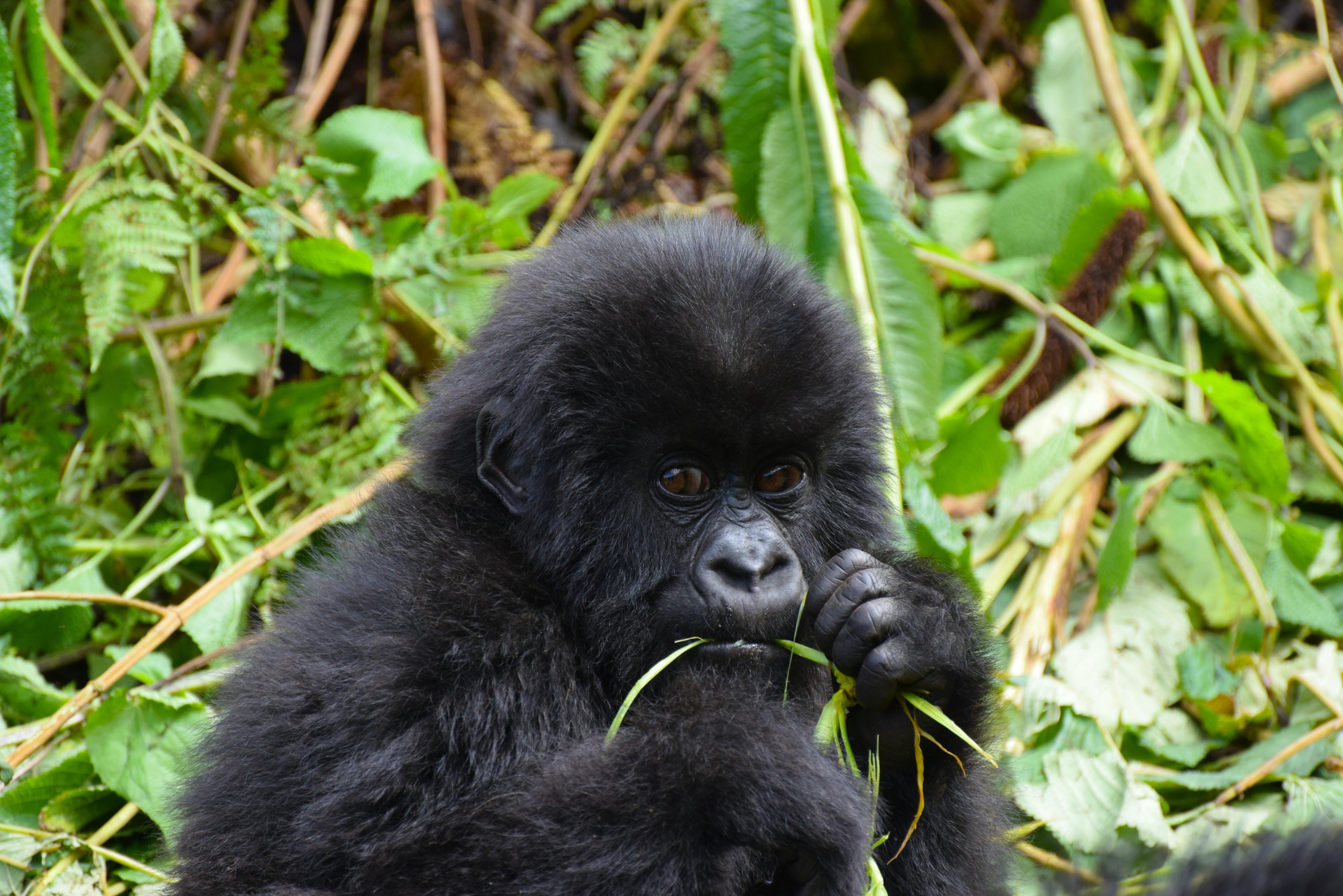 black baby monkey eating grass