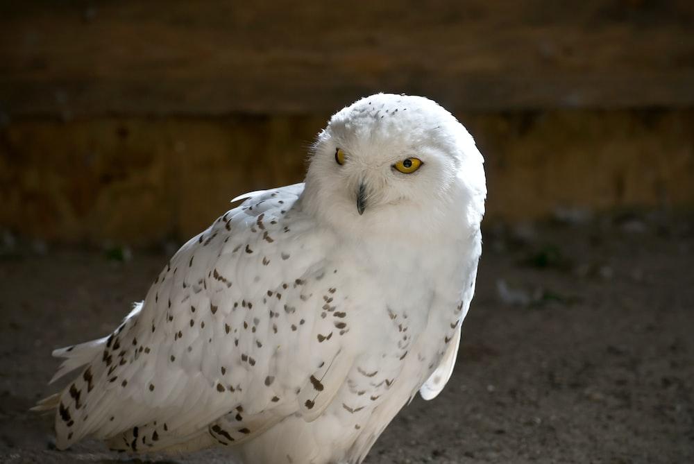 closeup photography of snowy owl