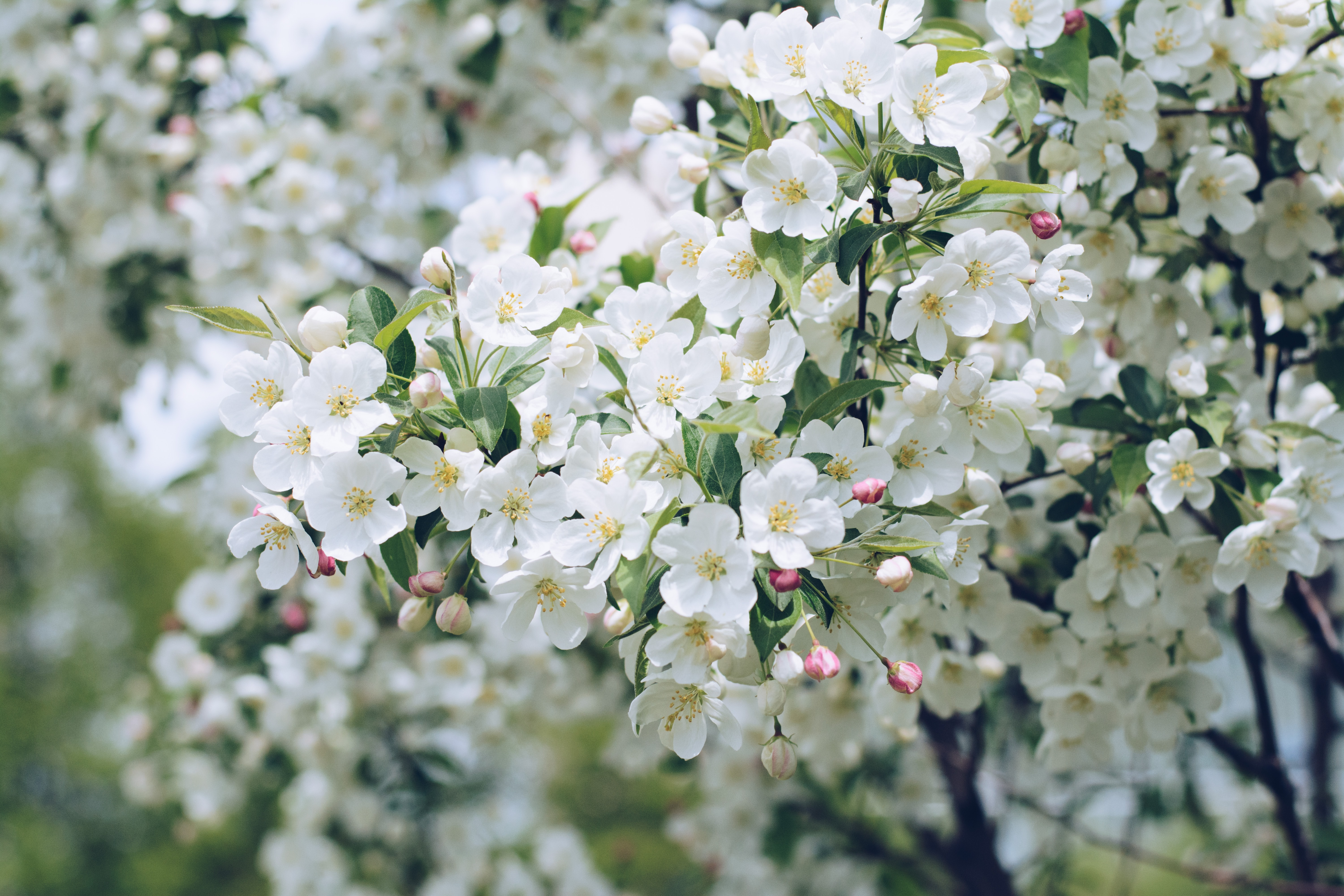 White flowers and pink buds on tree branches