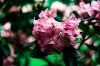 A blurry shot of pink flowers on dark green leaves