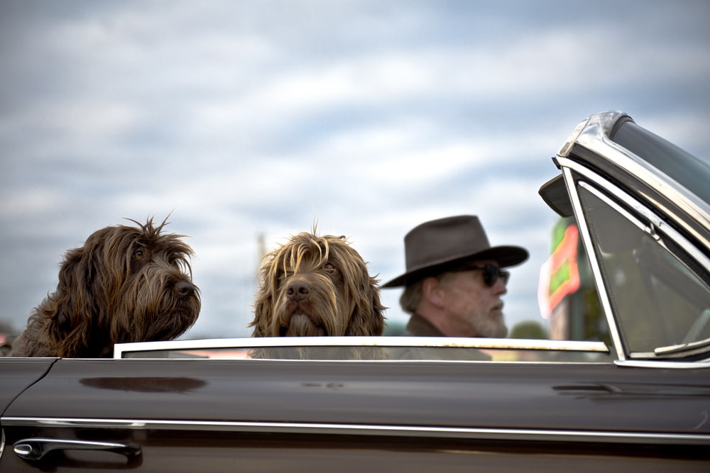 photo of man driving a car with two dog with him