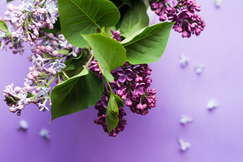 Best 500 Purple Background Pictures Hd Download Free Images On