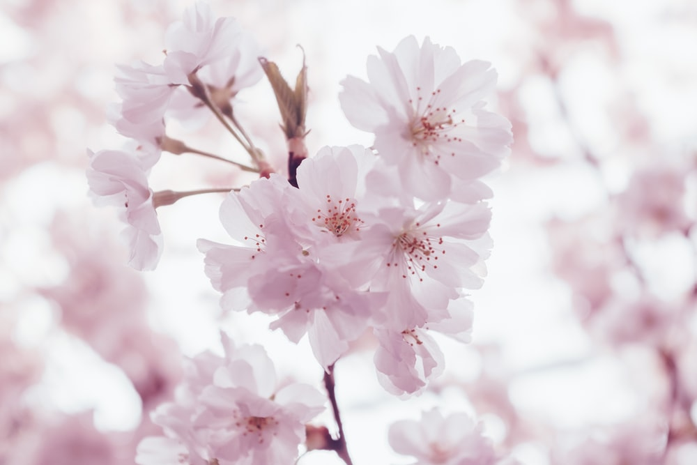 cherry blossoms flowers