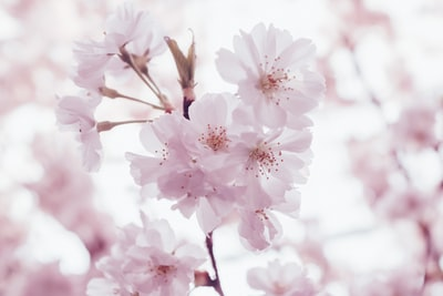 cherry blossoms flowers blossom zoom background