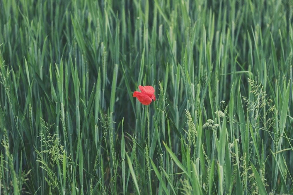 red petaled flower on grass field