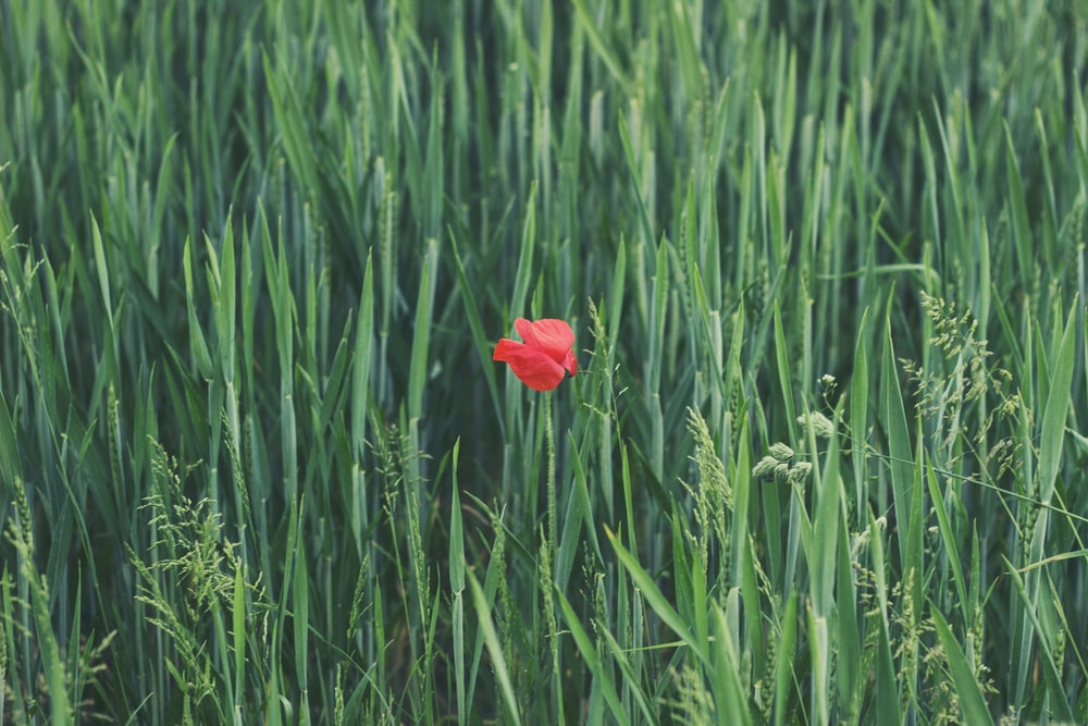 red petaled flower on grass field
