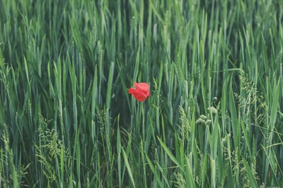 red petaled flower on grass field red sox zoom background