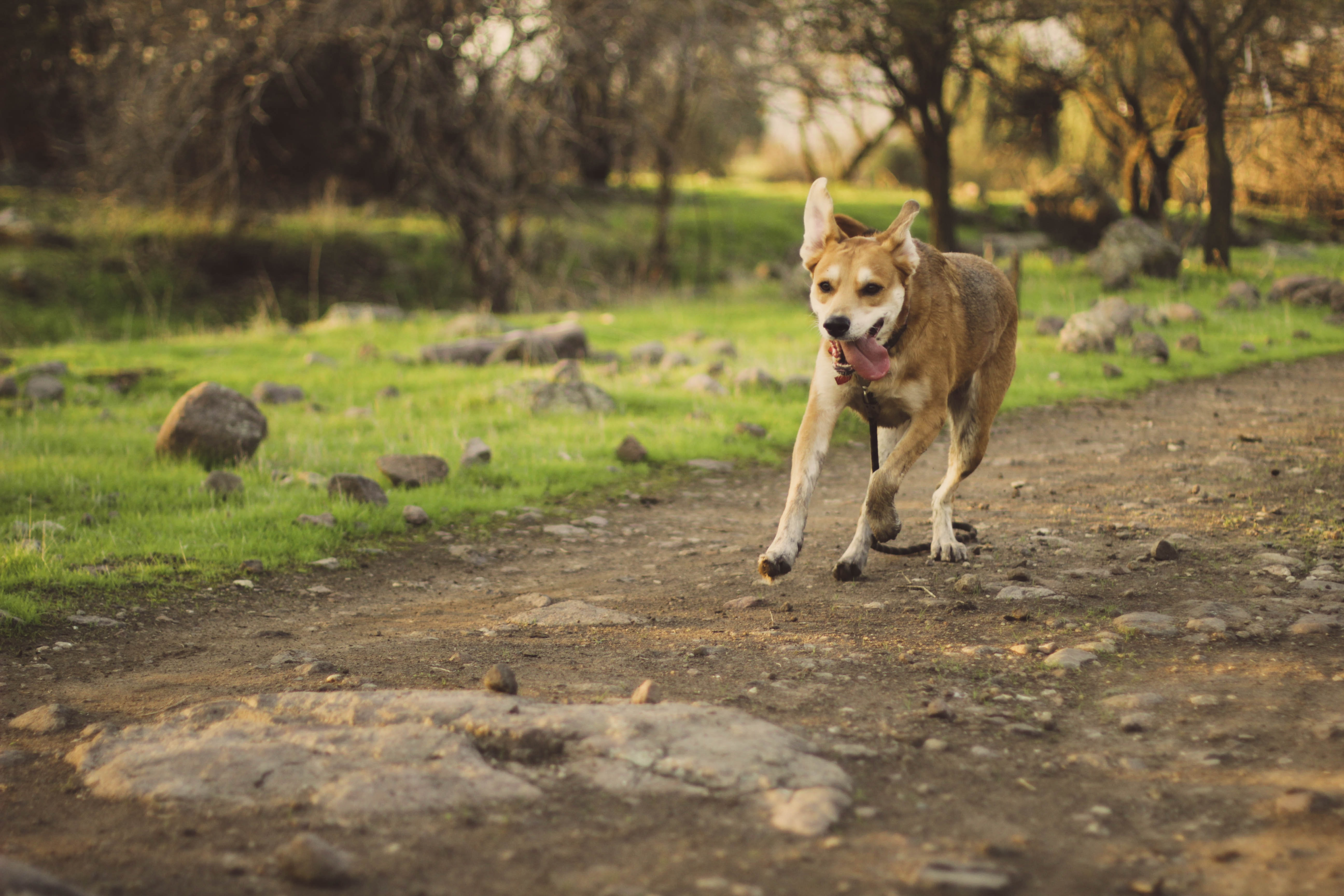 short-coated brown dog running on brown road