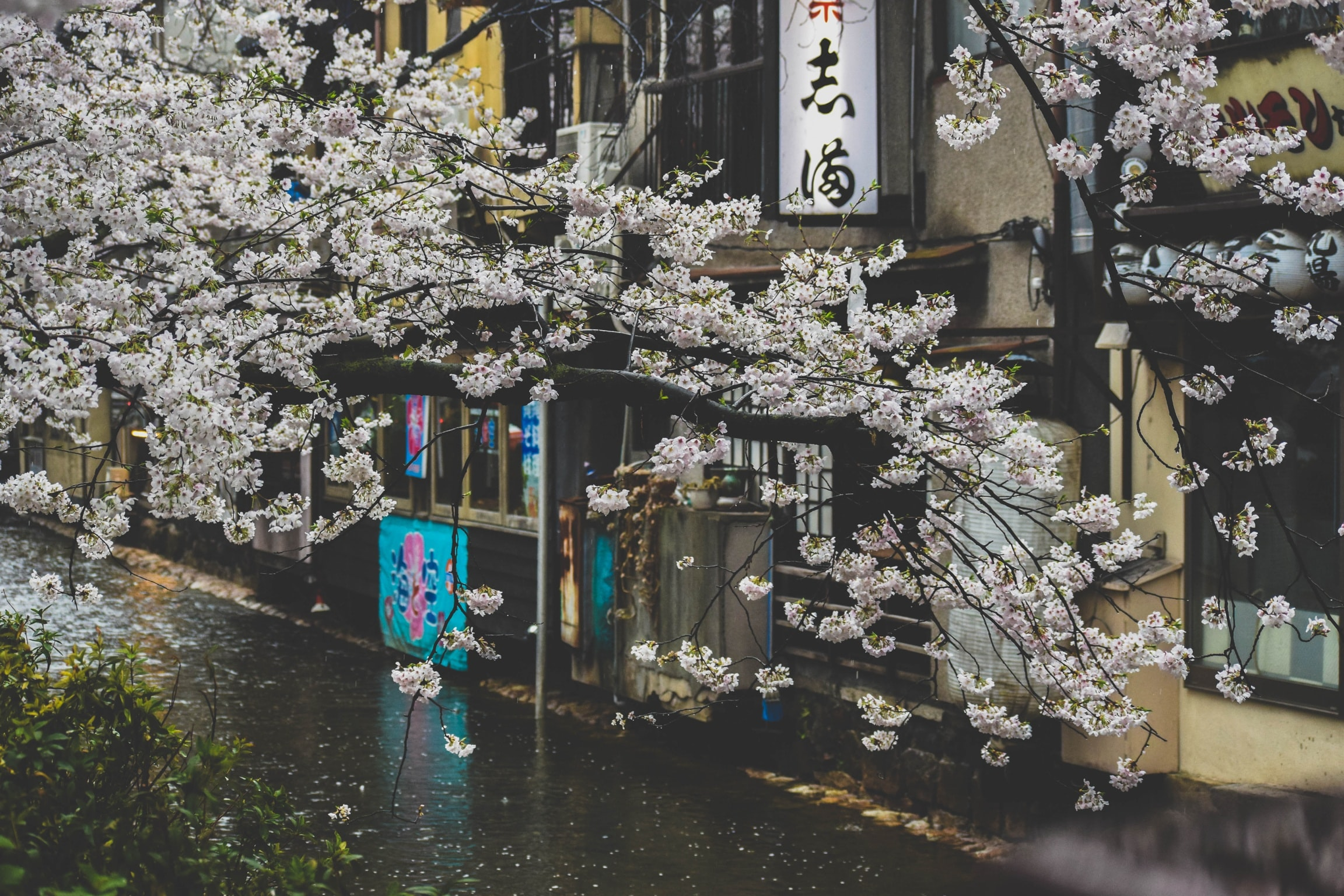White blossom on tree branches over a wet Asian street