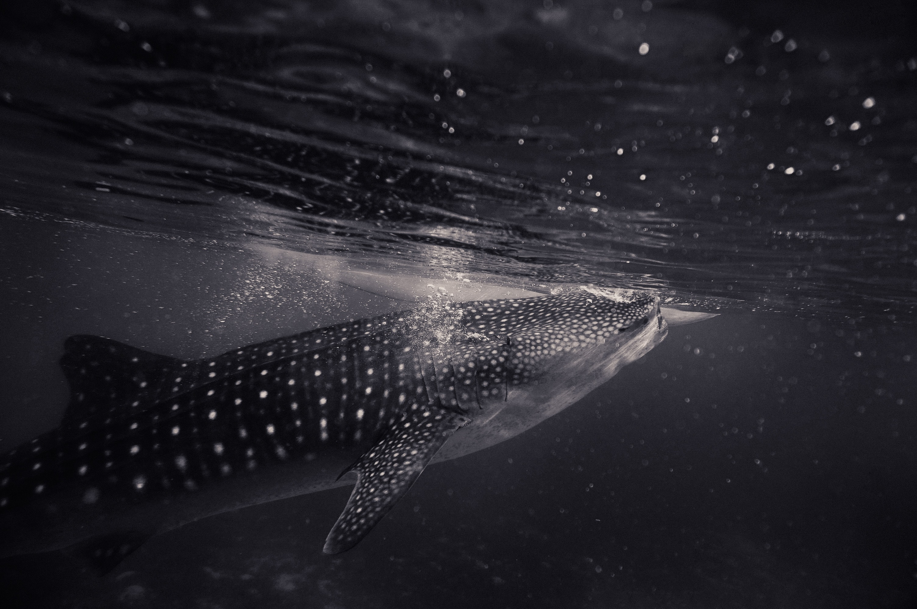 Black and white shot of shark swimming underwater with bubbles