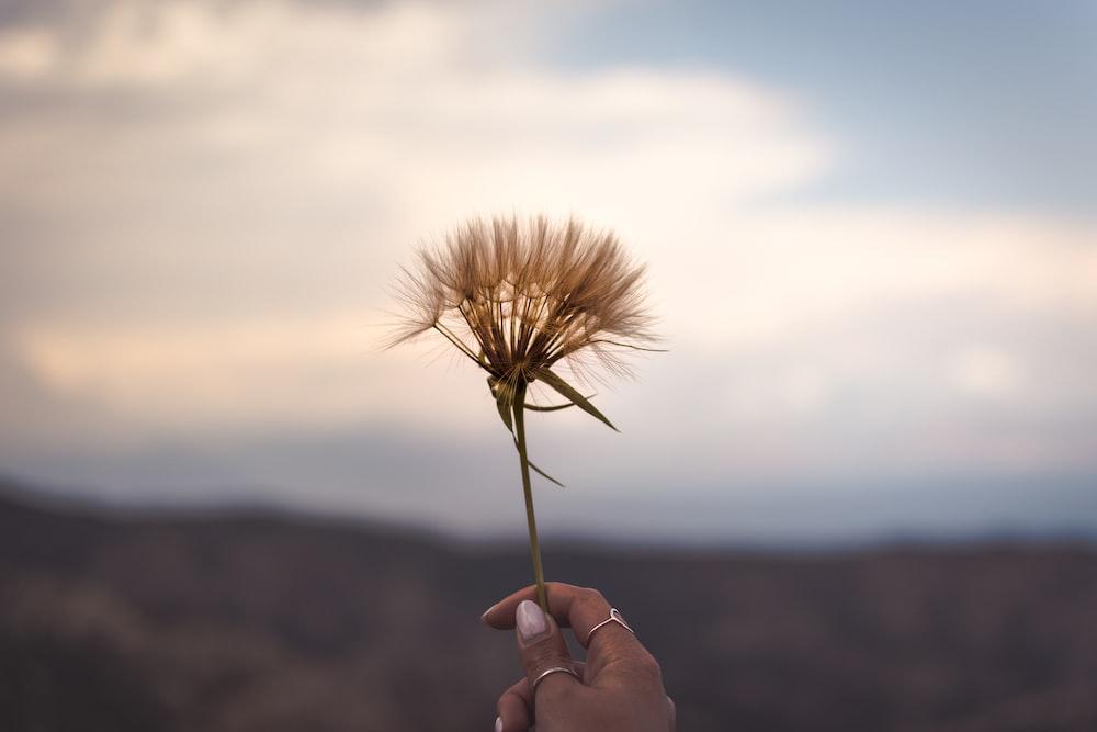 person holding brown dandelion flower