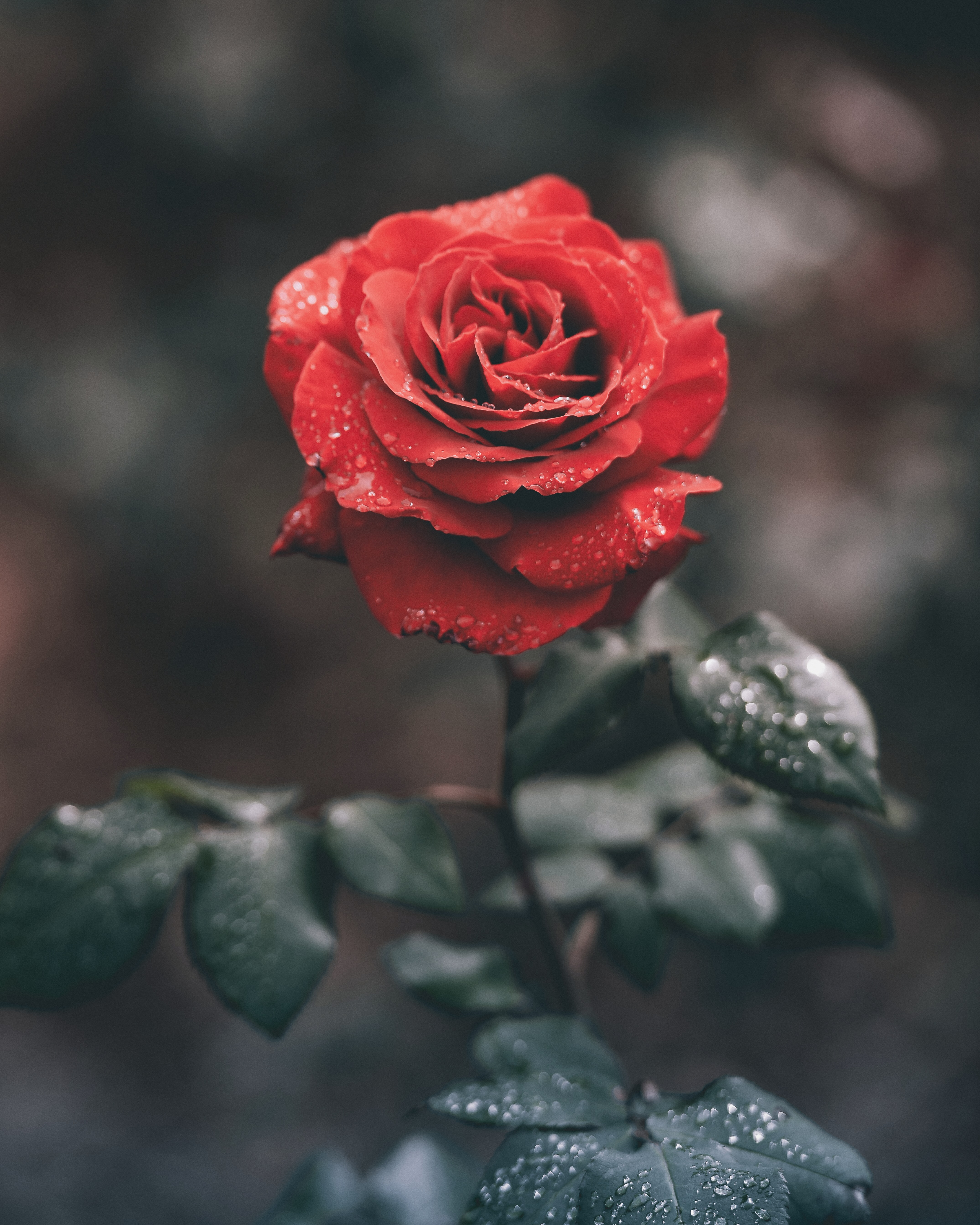 Close-up of a red rose with its petals and leaves covered in waterdrops