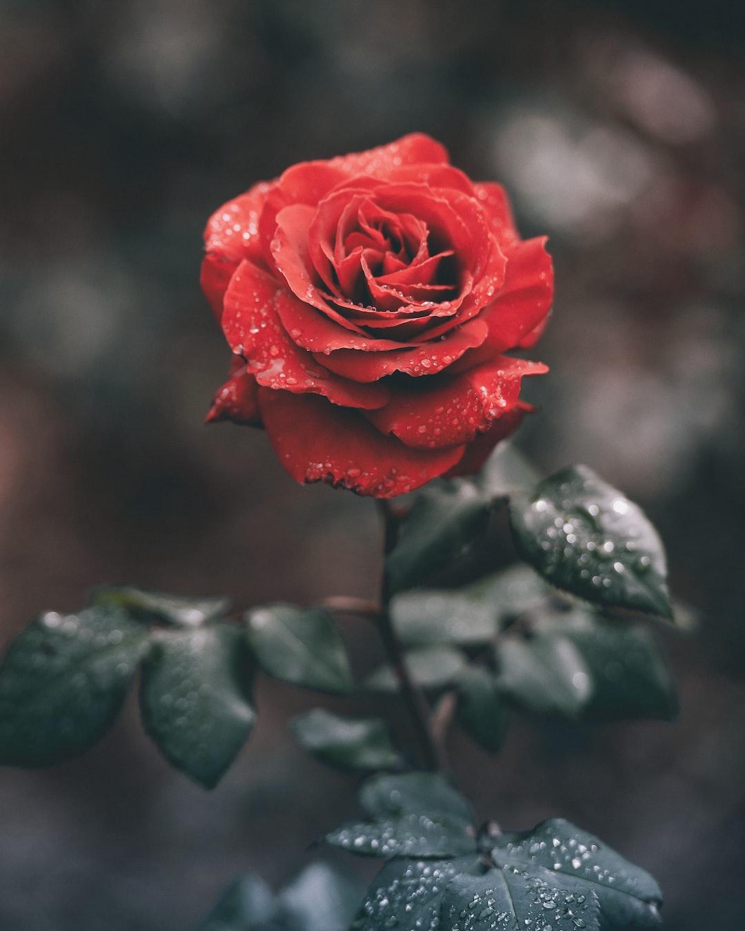 Wet red rose   HD photo by Ameen Fahmy (@ameenfahmy_) on ...