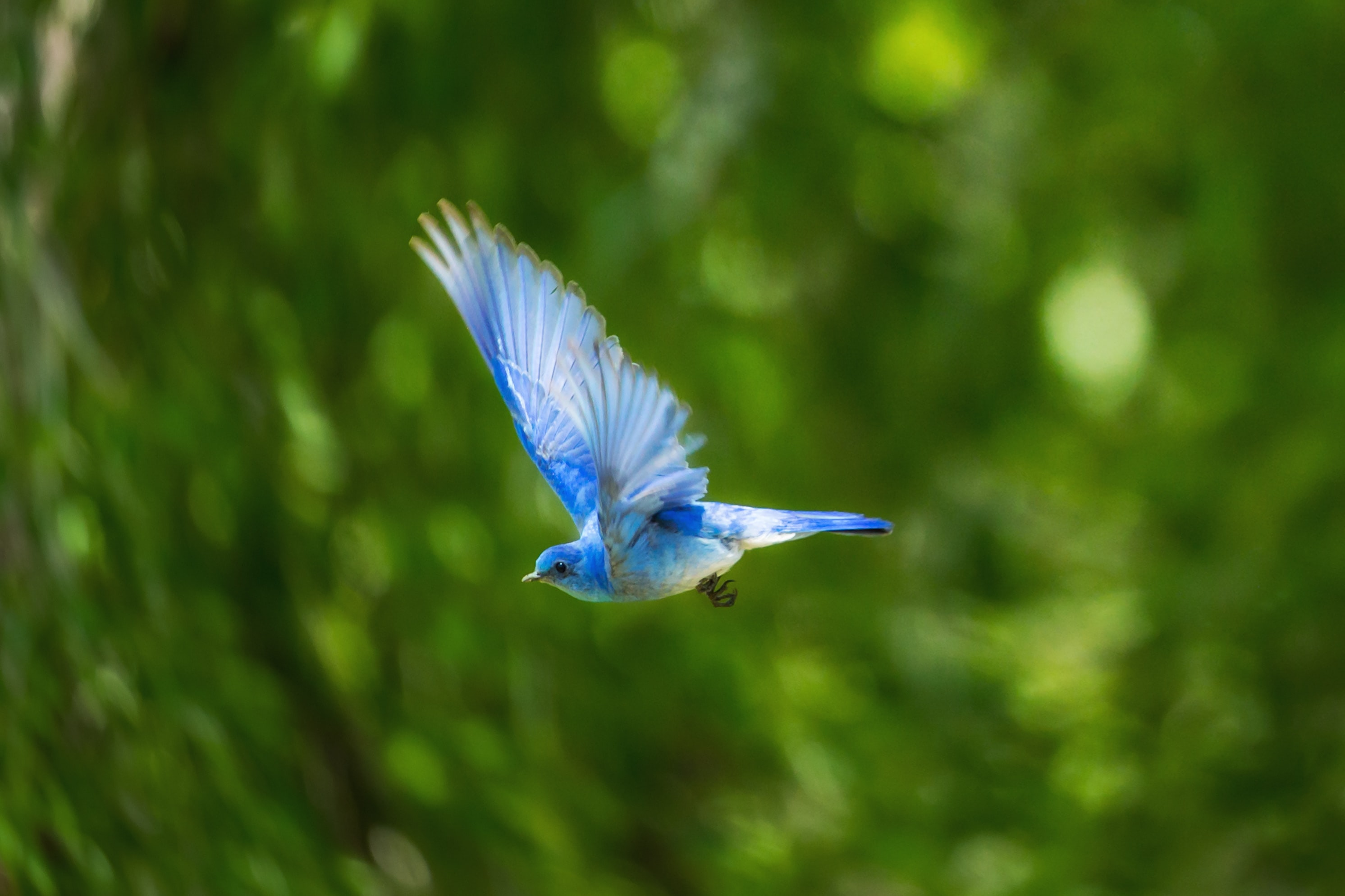 Blue hummingbird flies through the green forest