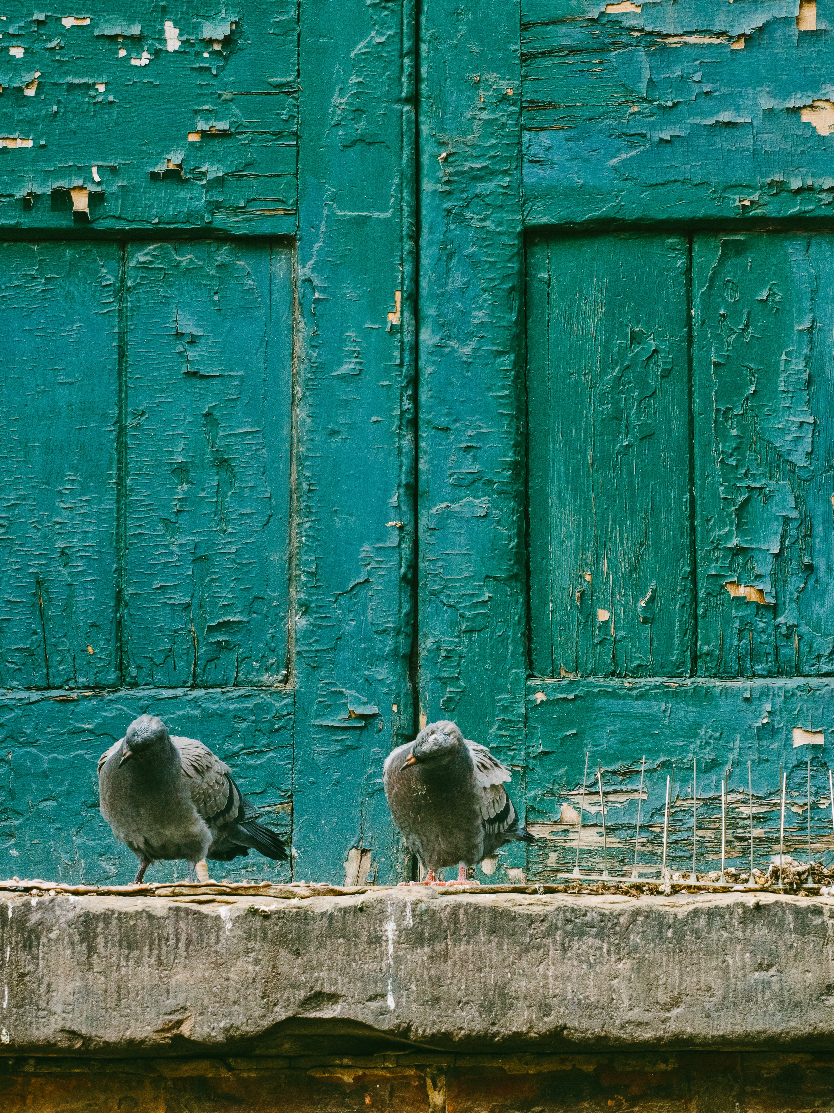 closeup photo of two gray pigeons on gray concrete surface