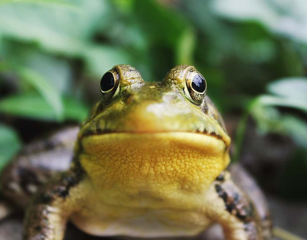closeup photography of a frog